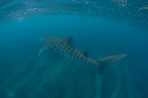 whale shark tour-55