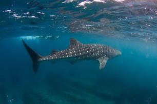 whale shark tour-59